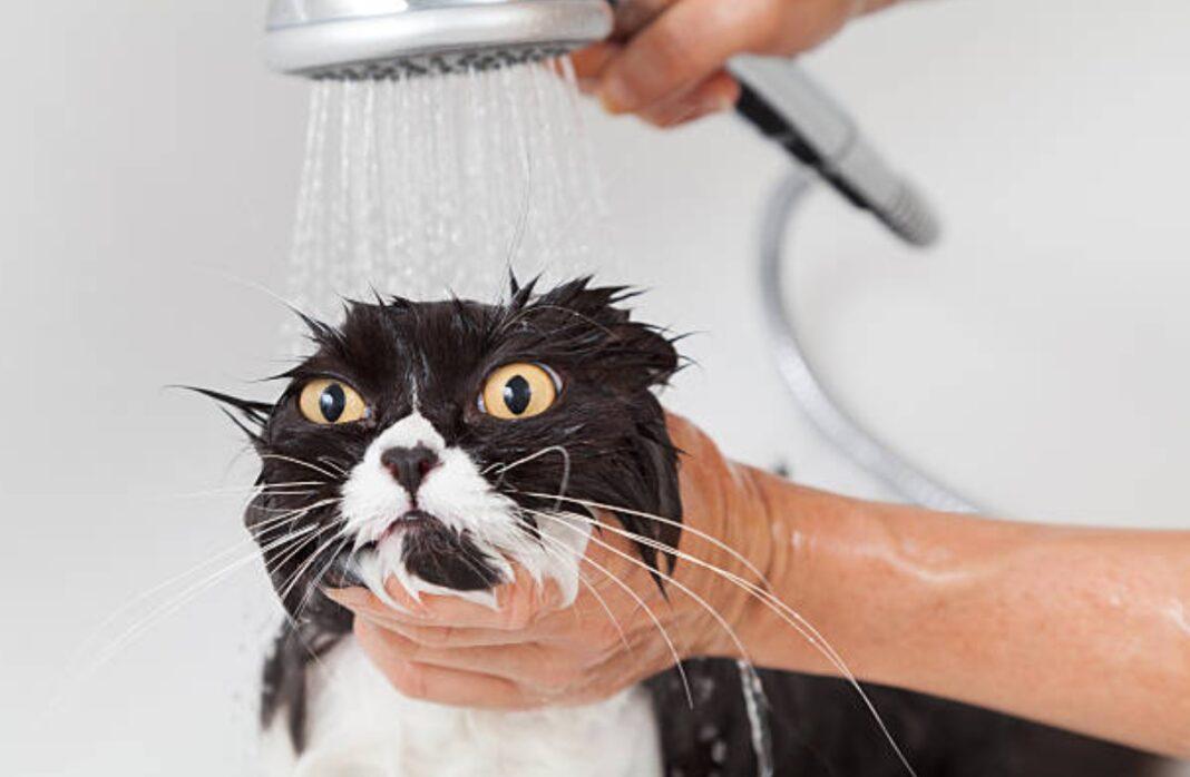 Personne qui lave un chat