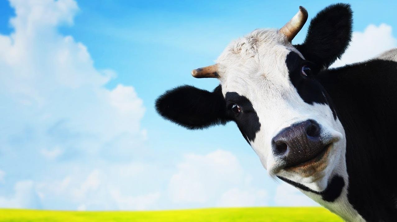 Vache dans un pré